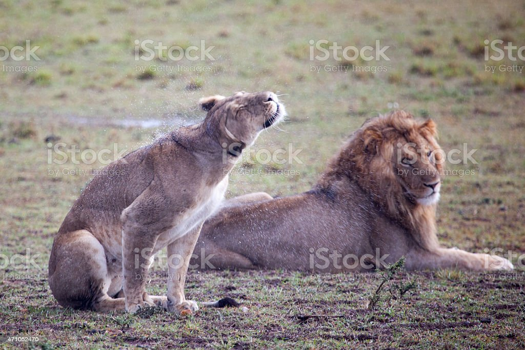Lioness shaking off water stock photo