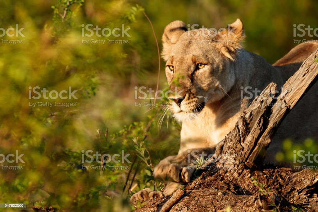 lioness sharpening claws stock photo
