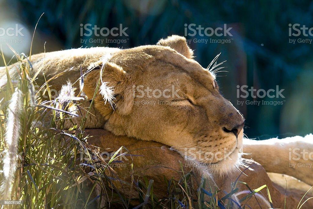 Lioness Sleeping stock photo