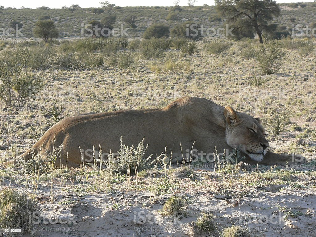 Lioness sleeping royalty-free stock photo