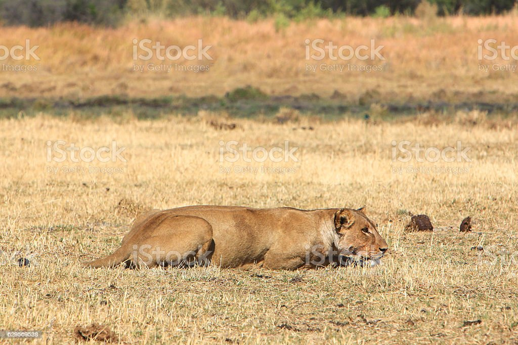 Lioness stalking prey in Moremi, Okavango Delta, Botswana stock photo