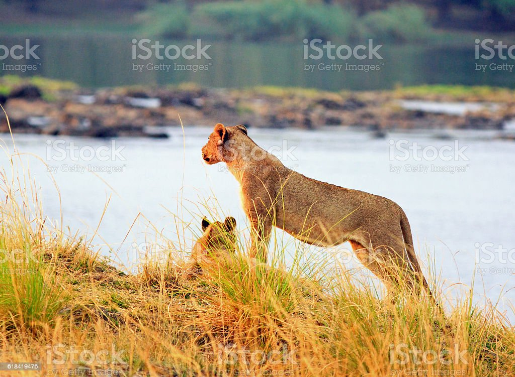 Lioness standing on the bank of the zambezi river stock photo