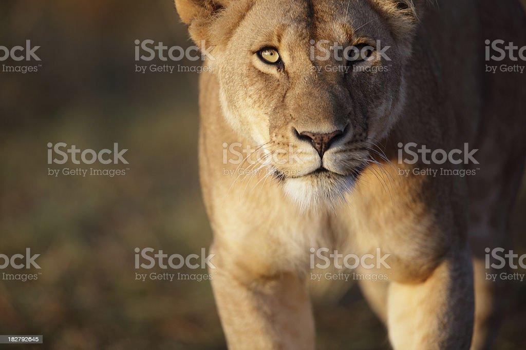 Lioness stare stock photo