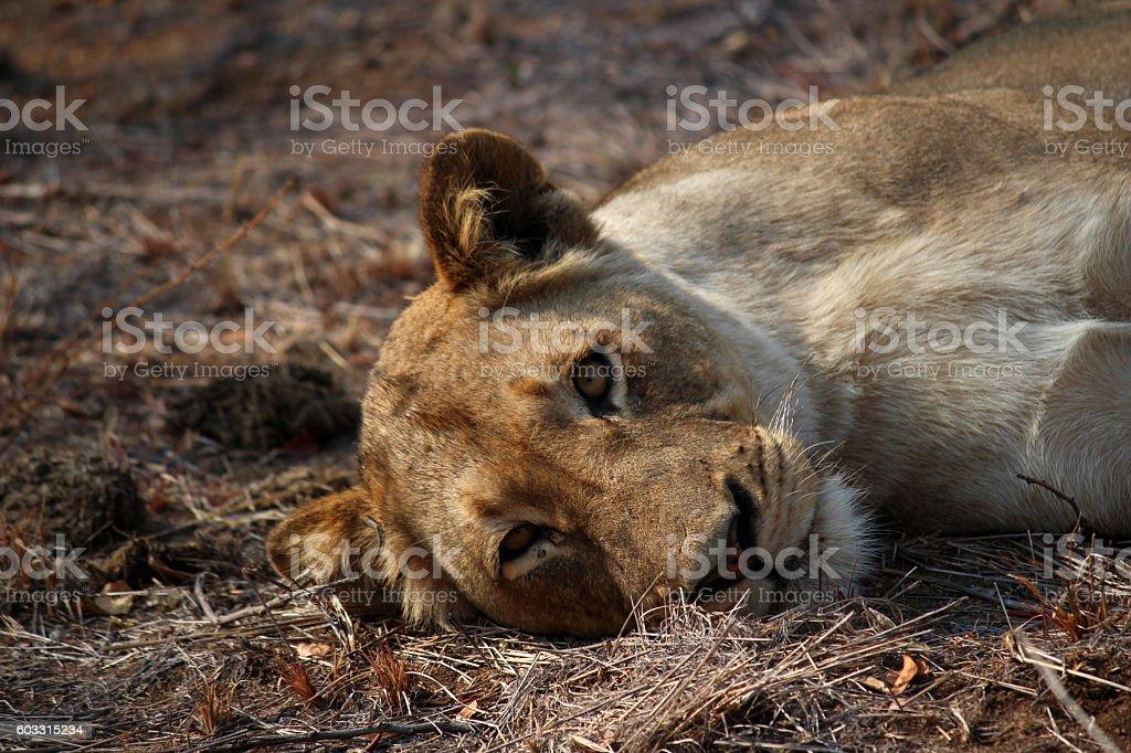 Lioness - Stock Image stock photo