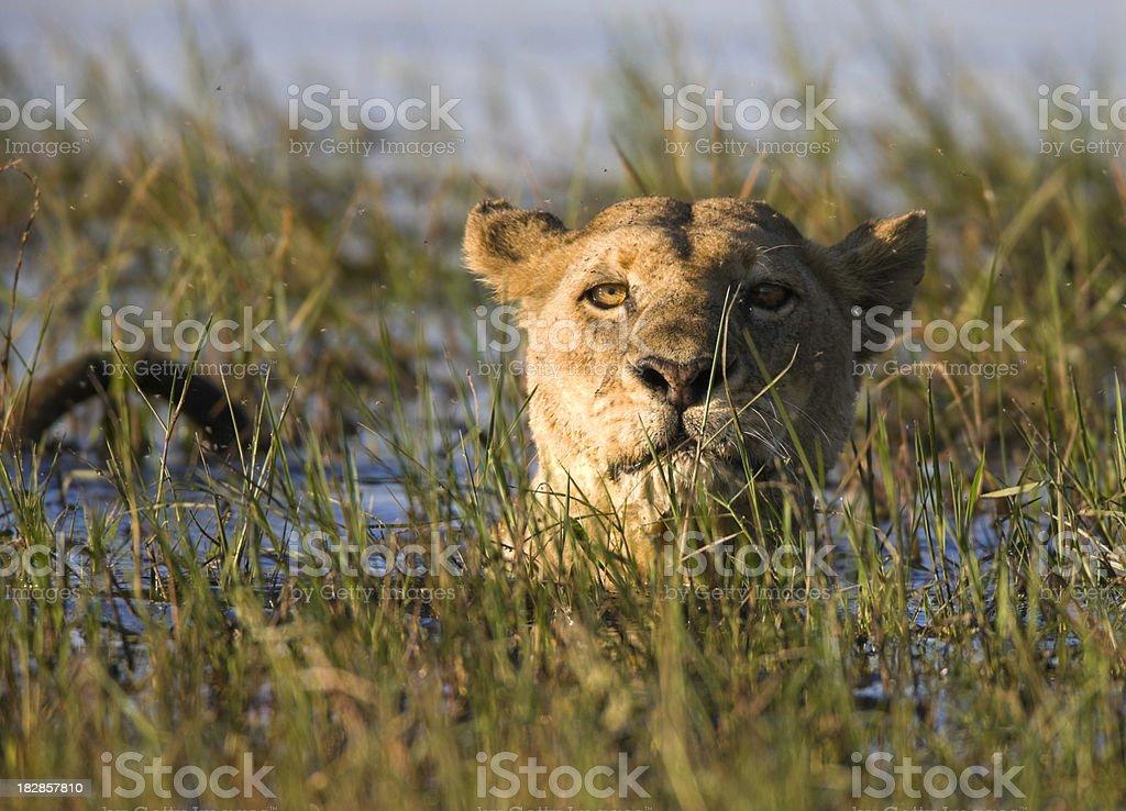 Lioness Swimming stock photo