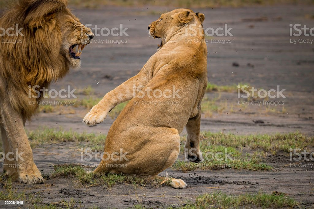 Lioness taking charge stock photo