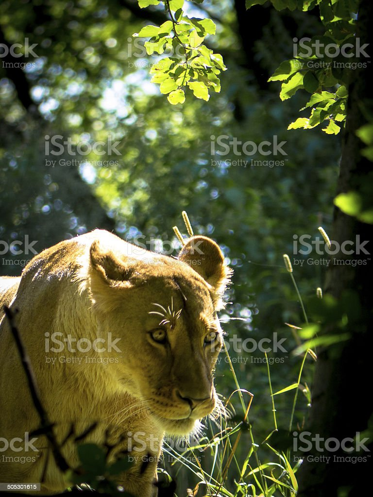 Lioness walking through trees royalty-free stock photo
