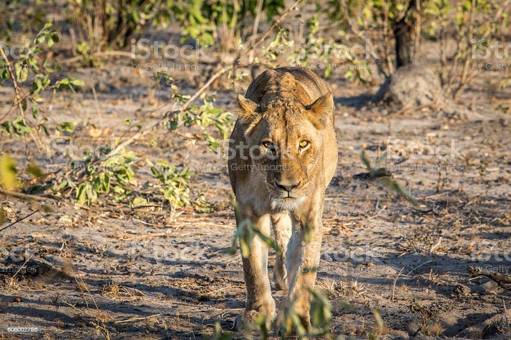 Lioness walking towards the camera. stock photo