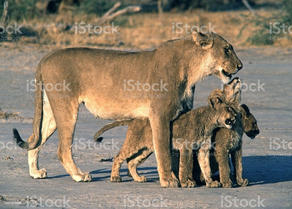 Lioness with 3 cubs royalty-free stock photo