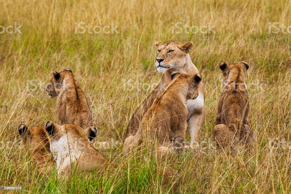 Lioness with cubs. Kenya National Park. Africa. stock photo