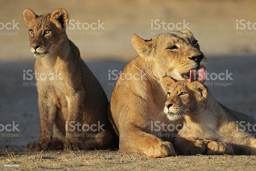 A lioness with her cubs in the desert stock photo
