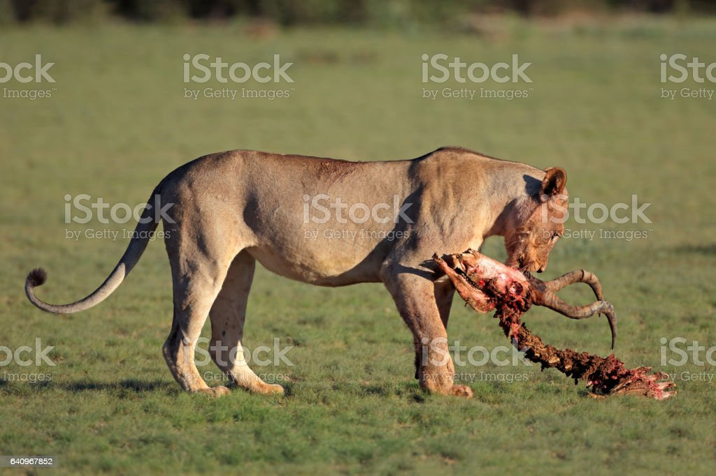 Lioness with prey stock photo