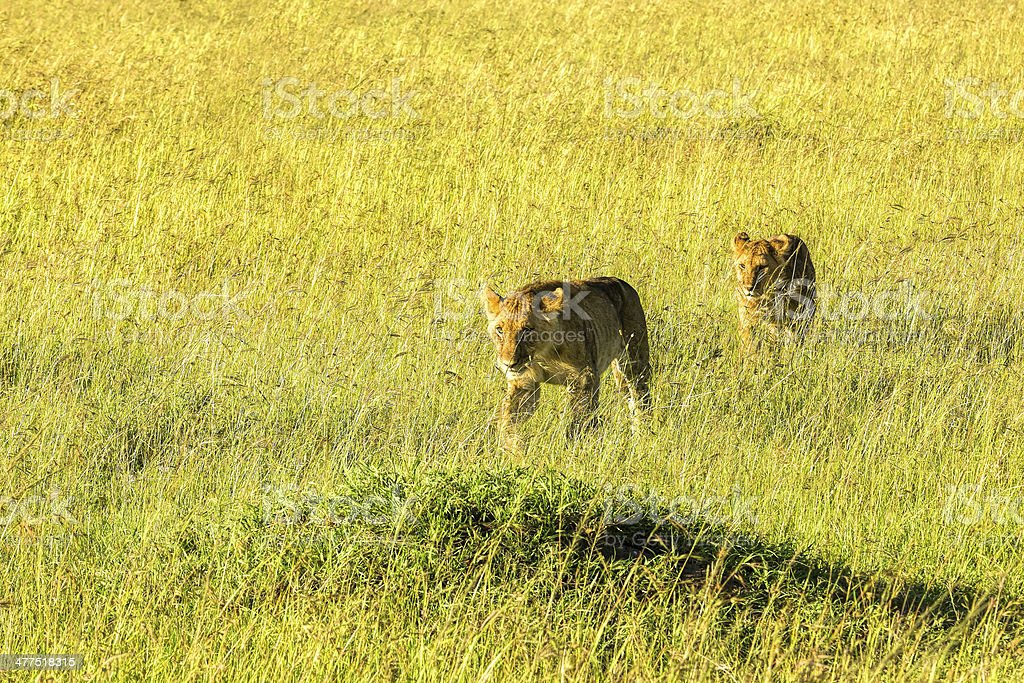Lionesses at wild - hunting royalty-free stock photo
