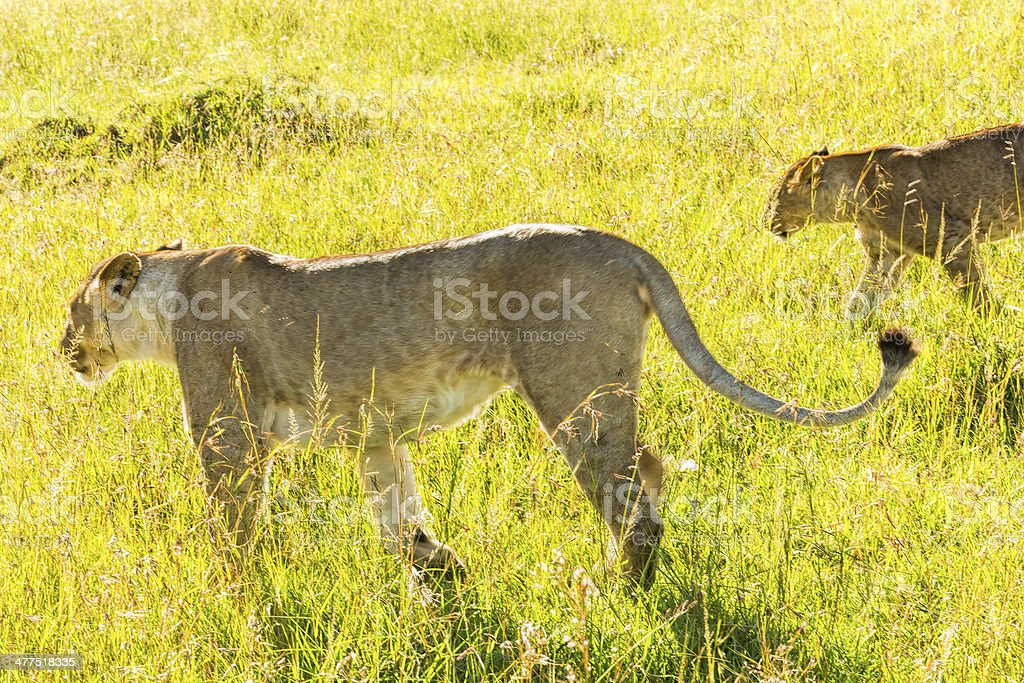 Lionesses at wild - hunting stock photo