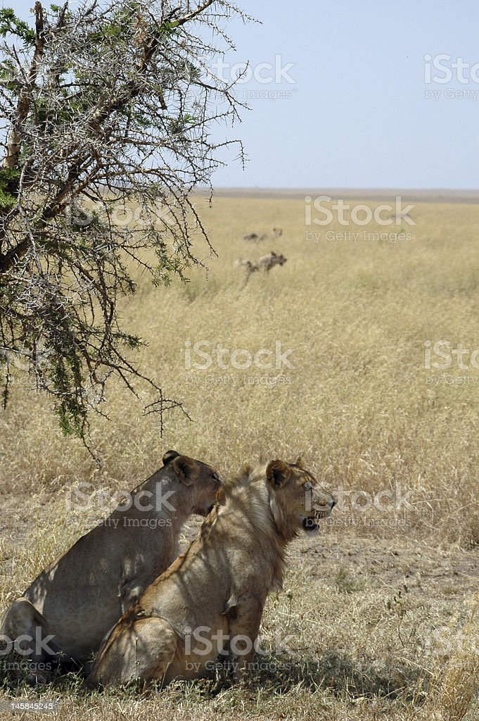 Lionesses Looking Over Savannah royalty-free stock photo