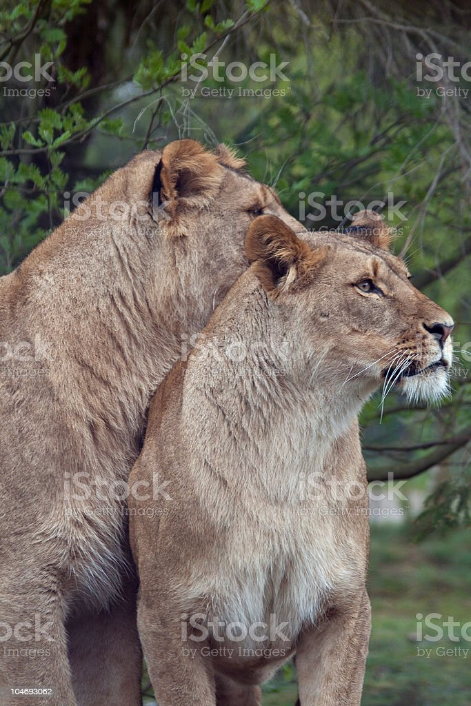Lionesses stock photo