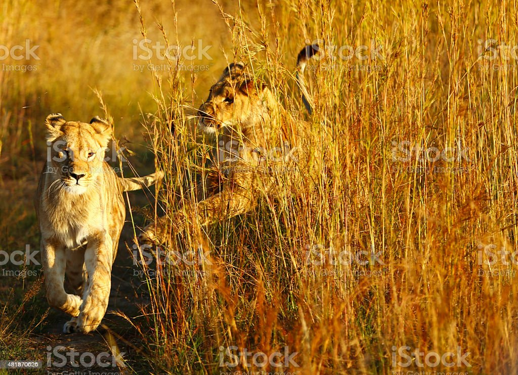 Lionesses Playing at Sunset stock photo