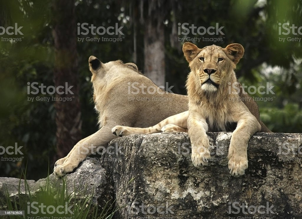 Lionesses resting on a boulder royalty-free stock photo