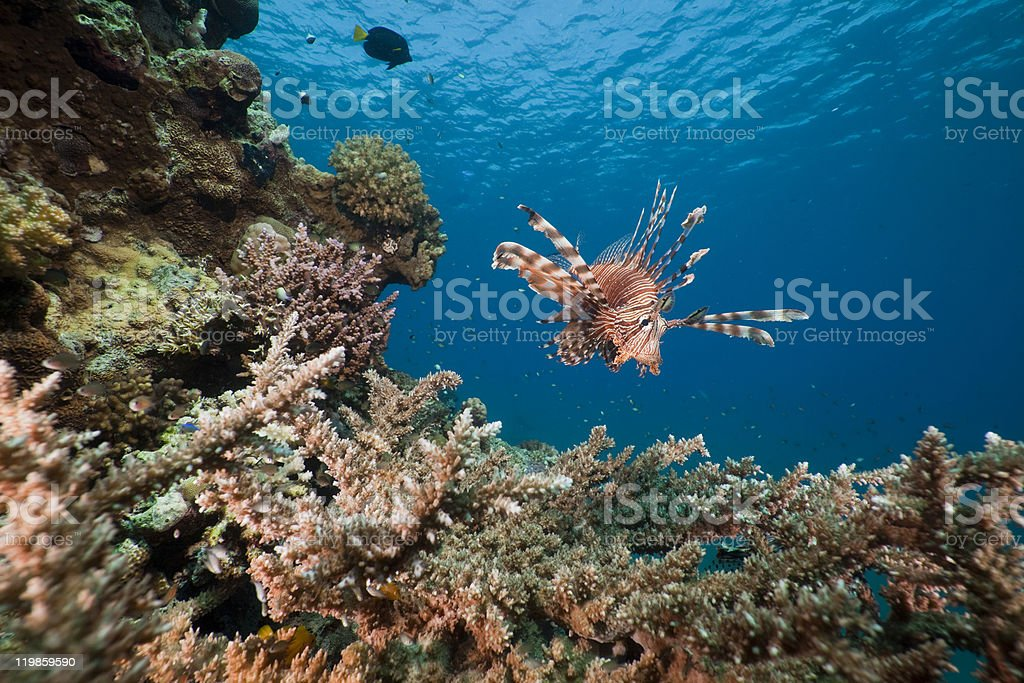 Lionfish and acropora. royalty-free stock photo