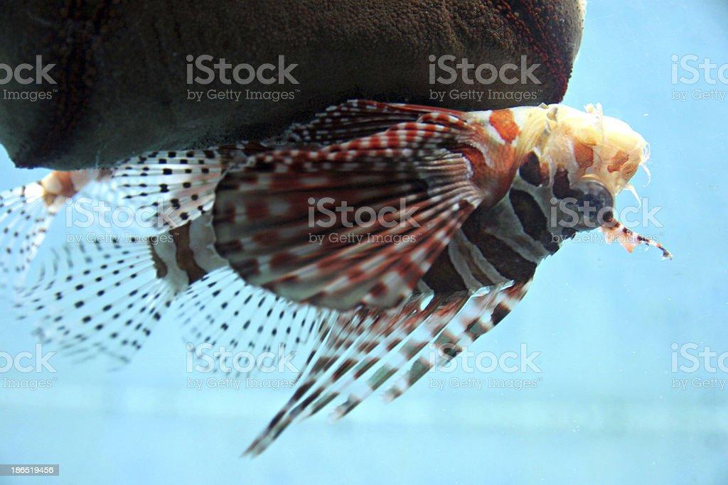 Lion-fish in aquarium. royalty-free stock photo