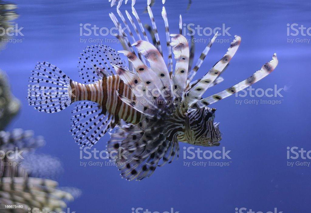 lionfish in water royalty-free stock photo