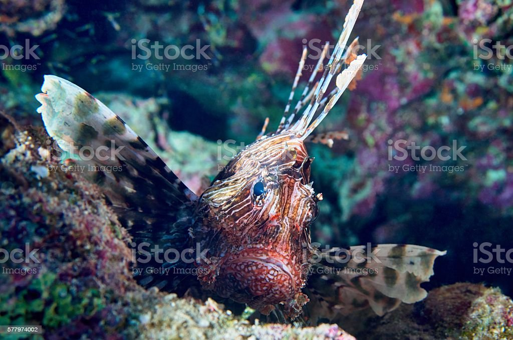 Lionfish (Pterois) is resting on a coral reef stock photo