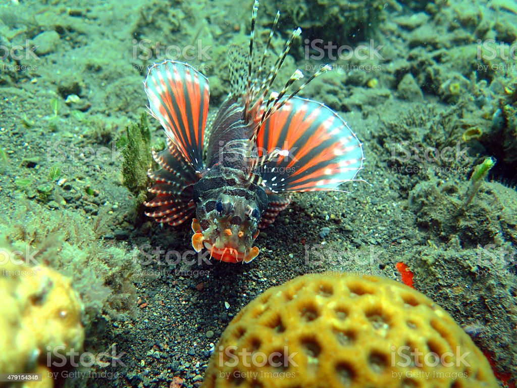 Lionfish (pterois) on coral reef Bali. stock photo