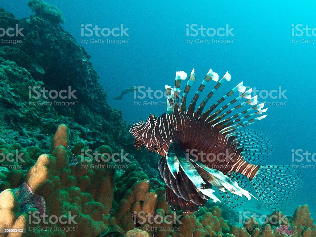 lionfish on top of the reef stock photo