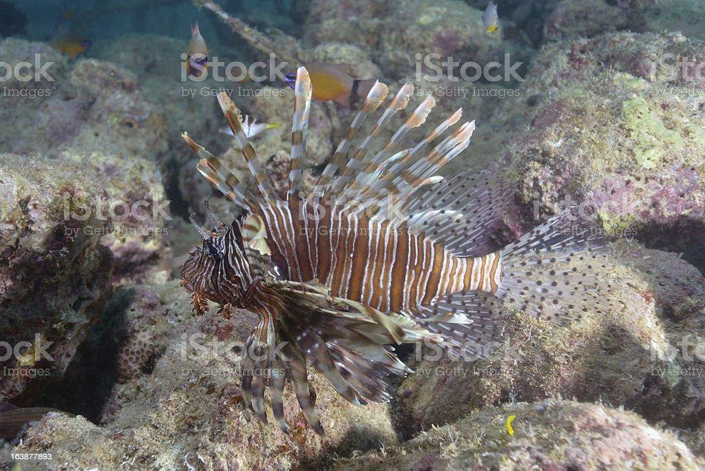 Lionfish royalty-free stock photo