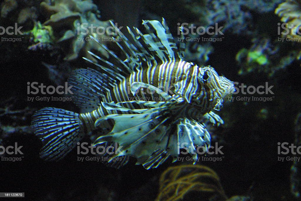 Lionfish royalty-free stock photo