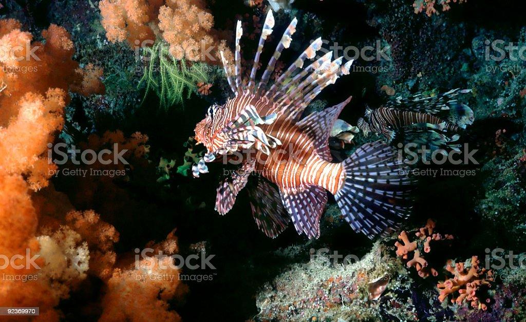 Poisson-scorpion photo libre de droits