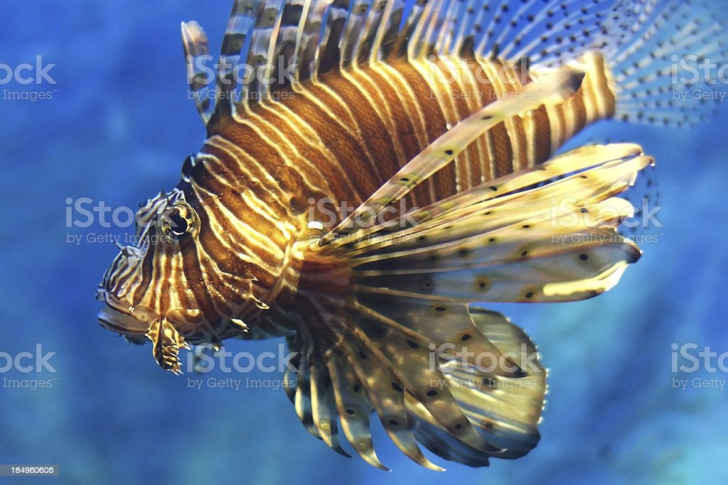 Lionfish swimming royalty-free stock photo