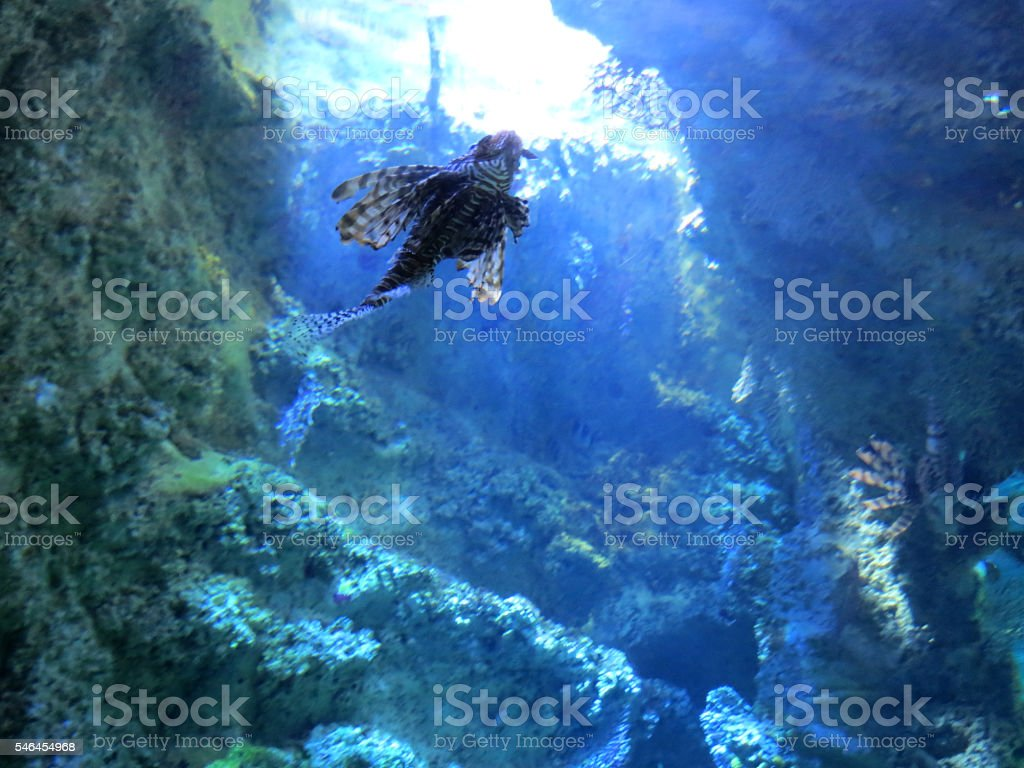 Lionfish Underneath stock photo