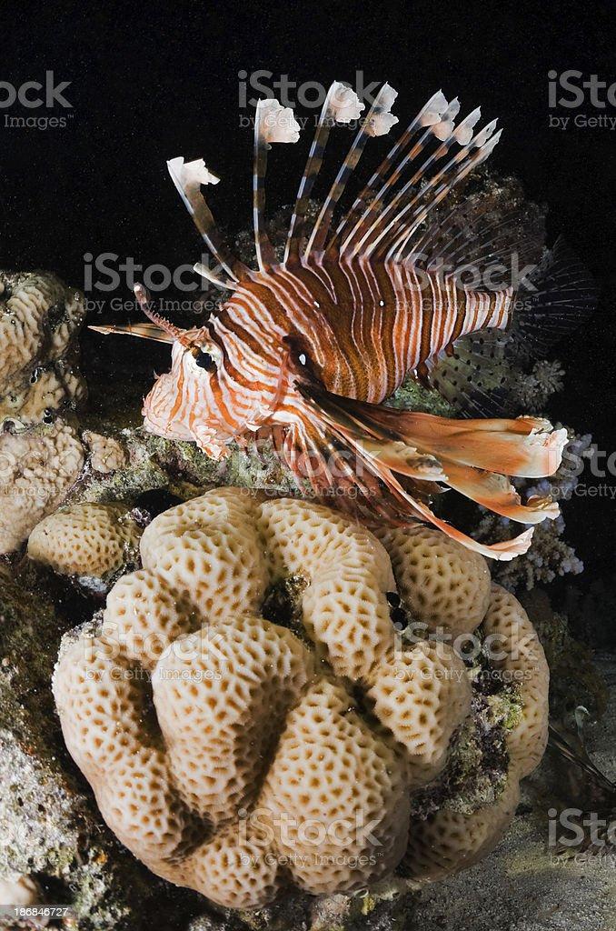 Lionfish Underwater stock photo