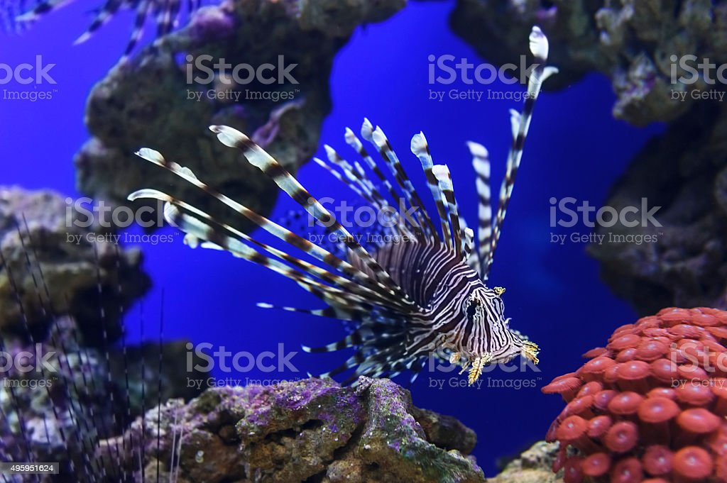 Lionfish with striped pattern on body swims near stones and coral...