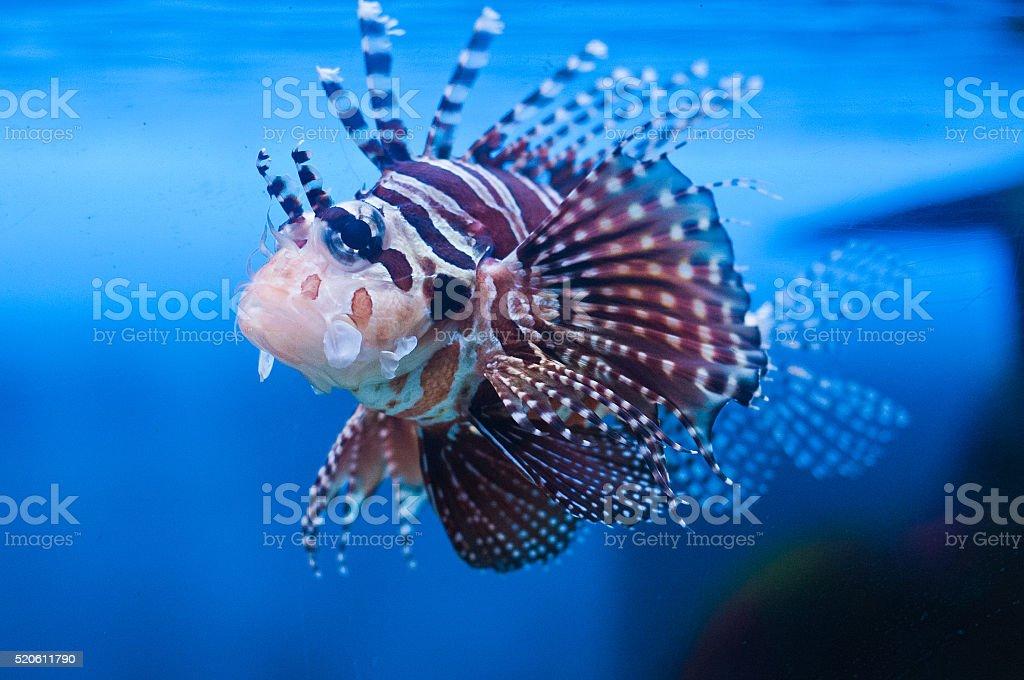 Lionfish (Pterois mombasae) underwater. stock photo
