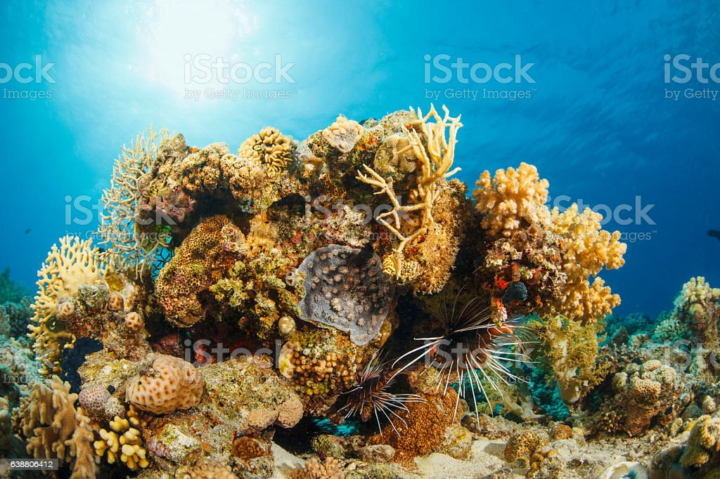 Lionfish  Underwater  sea life  coral reef stock photo