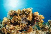Lionfish  Underwater  sea life  coral reef
