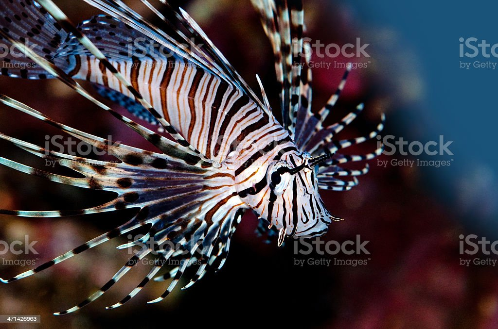 lionfish-Pterois volitans stock photo