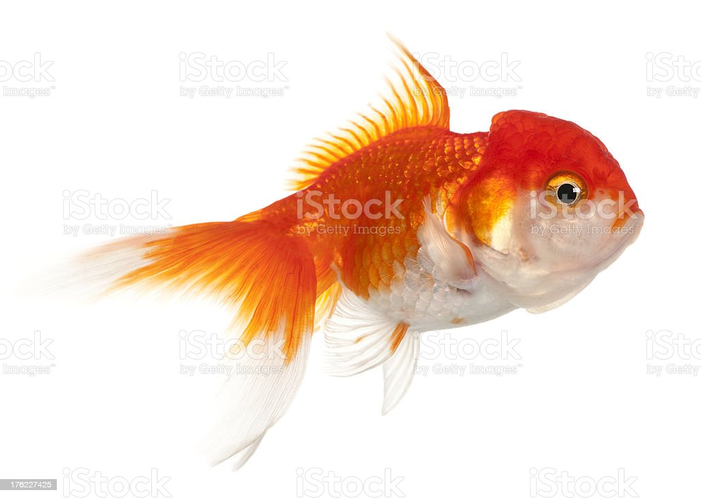 Lionhead goldfish, Carassius auratus, isolated on white stock photo