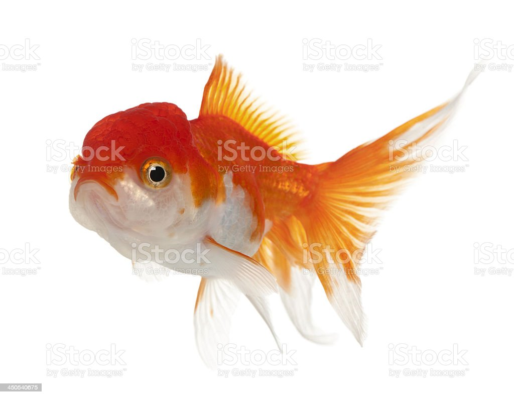 Lionhead goldfish, Carassius auratus stock photo
