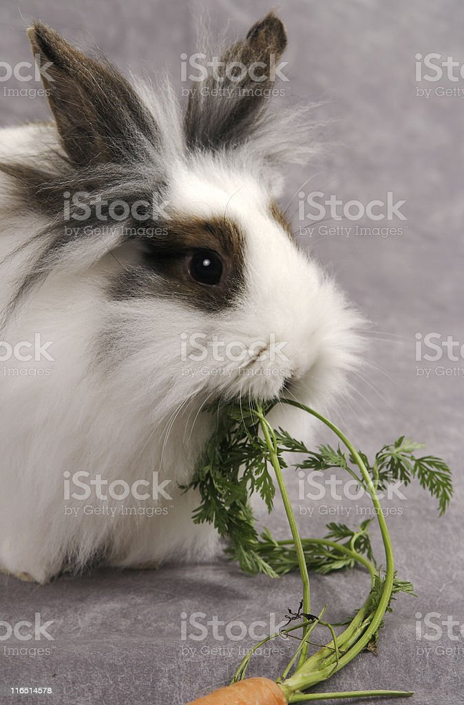 LionHead Rabbit Eating a  Carrot Top stock photo
