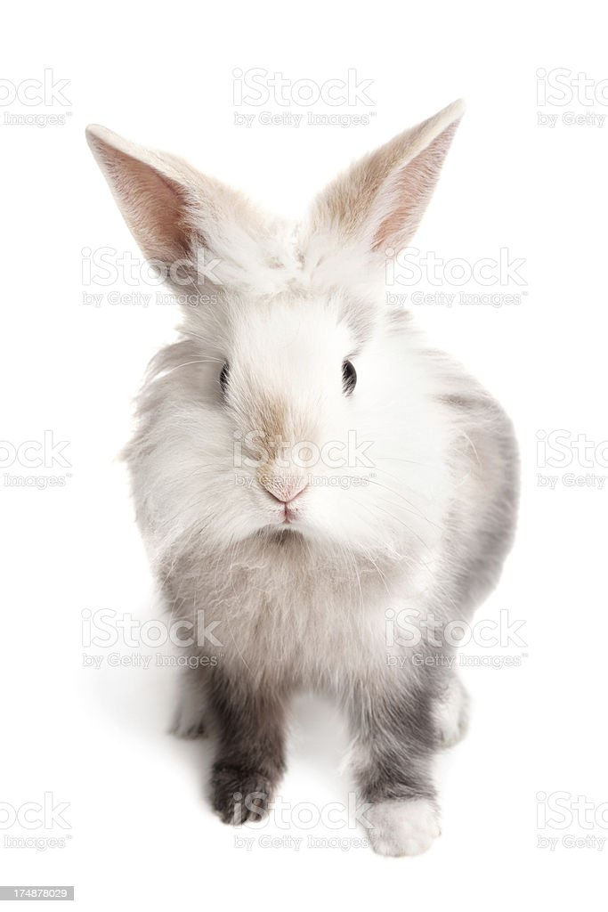 Lionhead rabbit on white stock photo