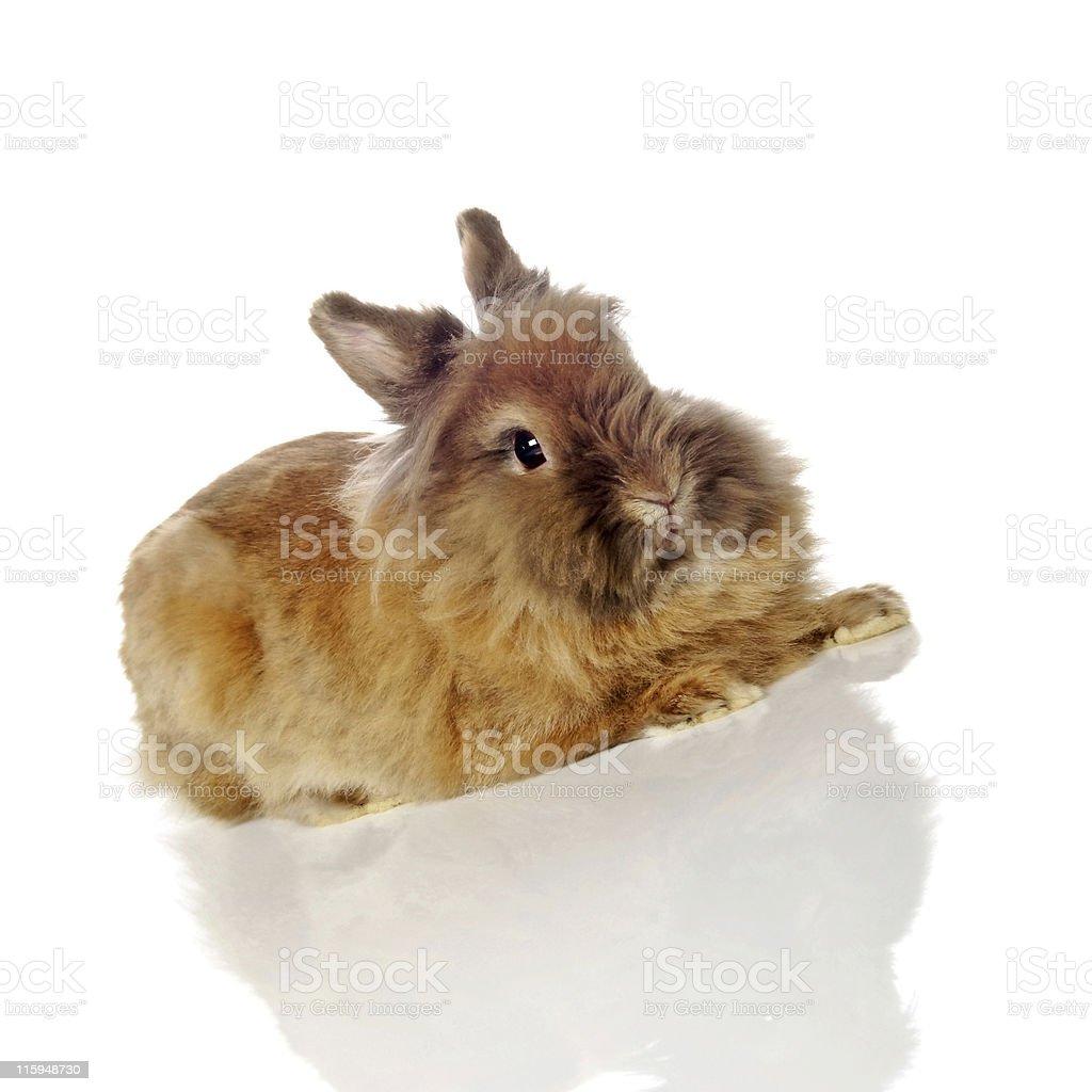 lionhead rabbit royalty-free stock photo