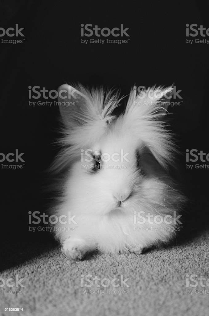 Lionhead Rabbit stock photo