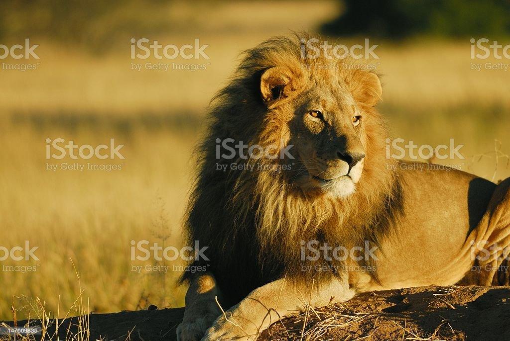 Lion-King of Namibia royalty-free stock photo