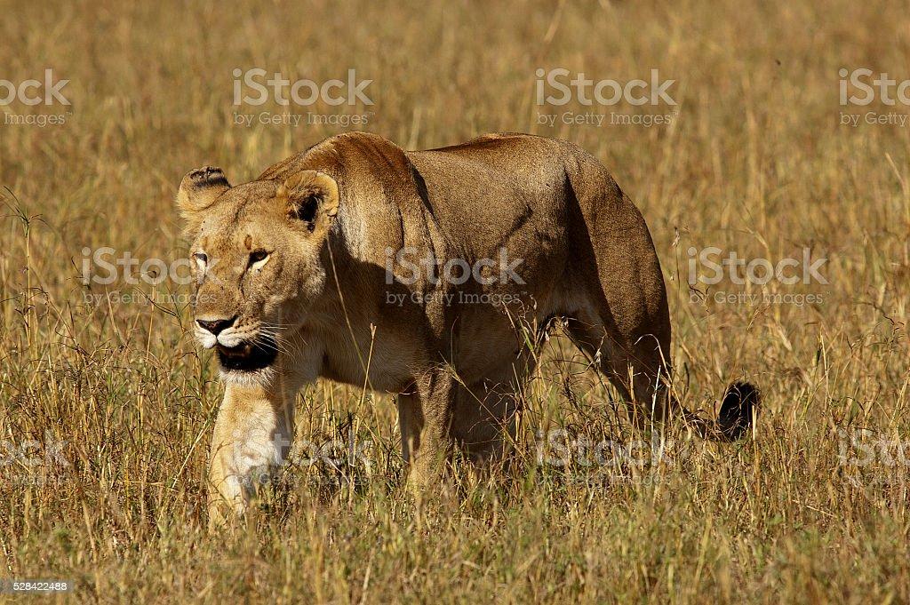 Lionness on the open plain, Masai Mara Game Reserve, Kenya stock photo