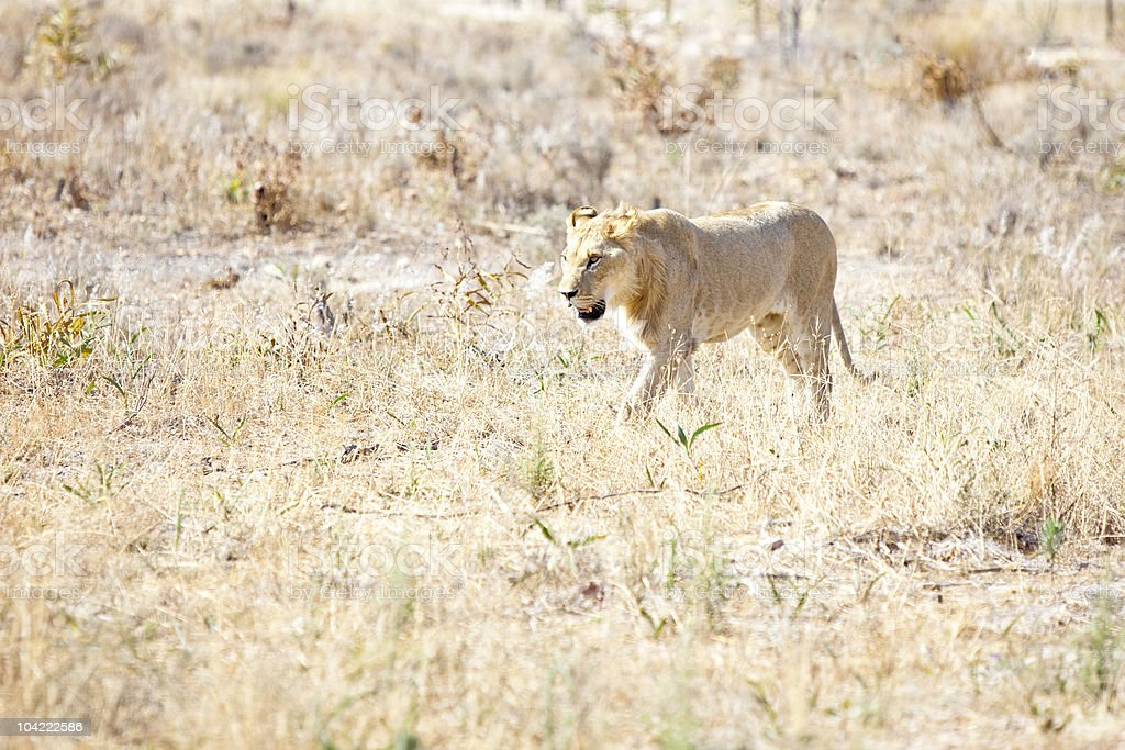Lionness wondering the hot African savannah royalty-free stock photo