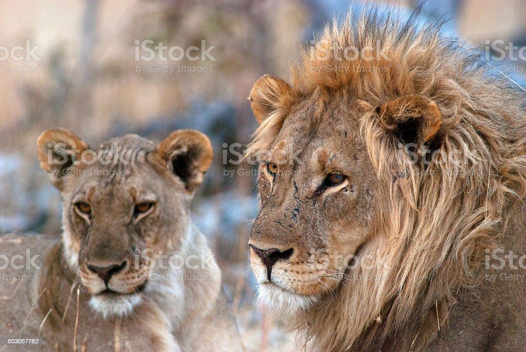 Lions at Goas waterhole, Etosha National Park, Namibia stock photo
