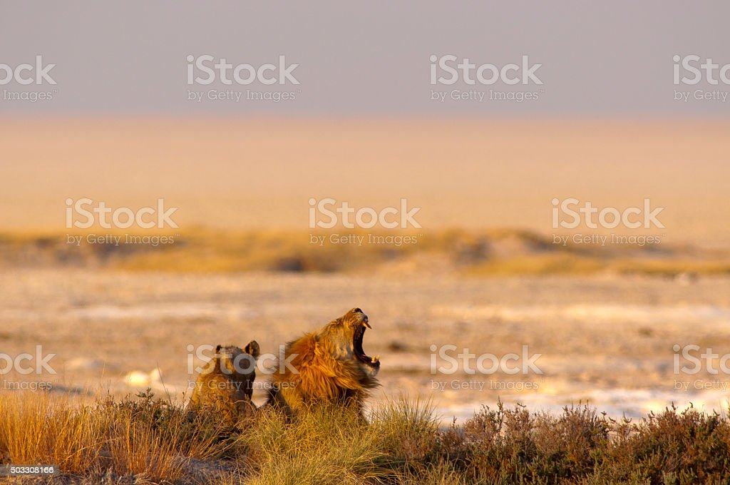 Lions at Okondeka waterhole, Etosha National Park, Namibia stock photo